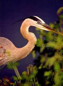 Blue heron by Dave Hrusecky