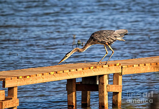 Blue Heron Dragonfly Lunch by Cathy  Beharriell