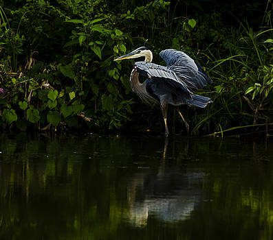 Blue Heron in the Light by Shirley Tinkham