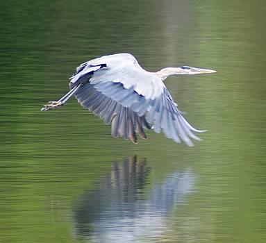 Blue Heron by Kasie Morgan