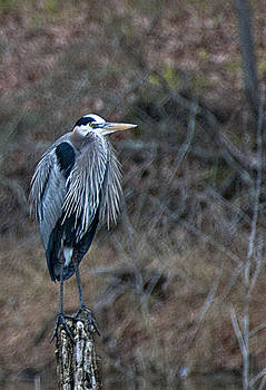 Blue Heron on stump by Bill Perry