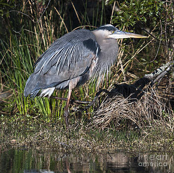 Dale Powell - Blue Heron on the Hunt