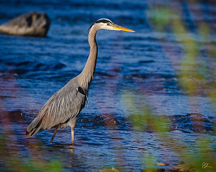 Blue Heron by Pat Scanlon