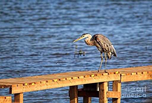 Blue Heron Spies the Dragonfly by Cathy  Beharriell