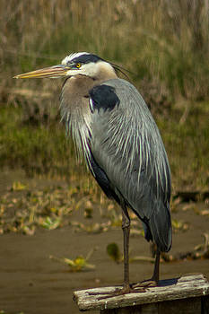 Blue Heron by Terry Thomas