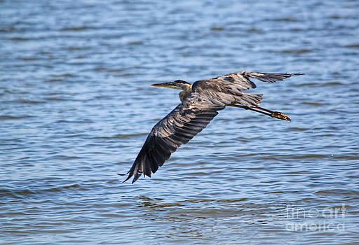 Blue Heron Water Flight by Cathy Beharriell