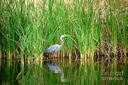 Linda Rae Cuthbertson - Great Blue Heron Water Reflection