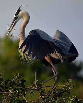 Patricia Twardzik - Blue Heron Wing Tips