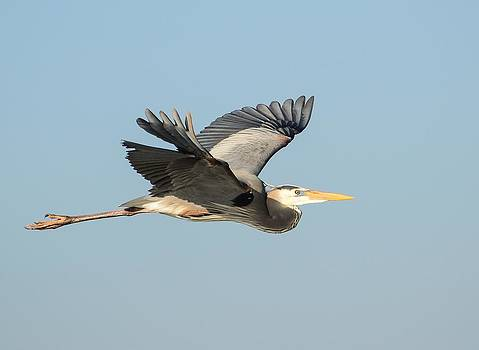 Great Blue Heron by Martha Lyle