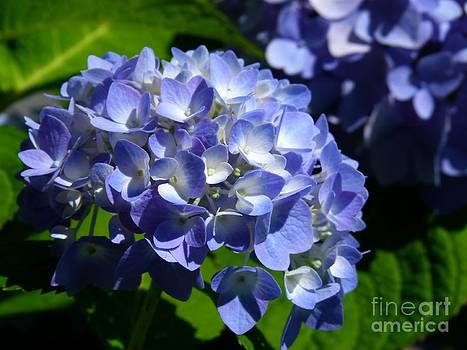 Christine Stack - Blue Hydrangea Flowers
