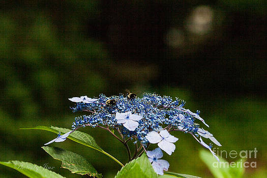 Blue Hydrangea  by Jinx Farmer