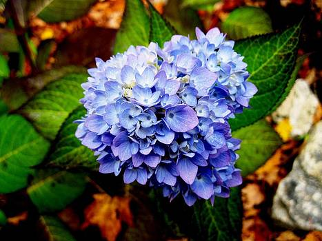 Blue Hydrangea by Will Boutin Photos