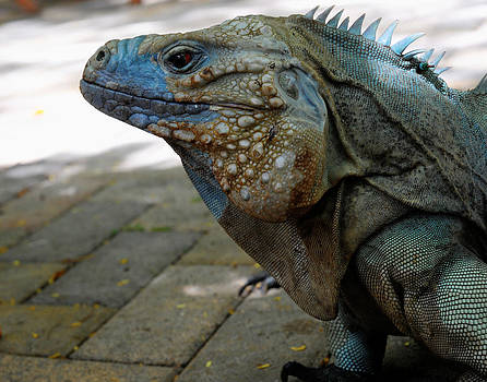 Blue Iguana by Al Perry