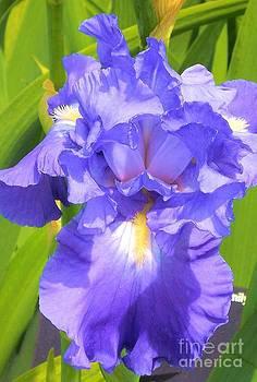 blue Iris by Claudette Bujold-Poirier