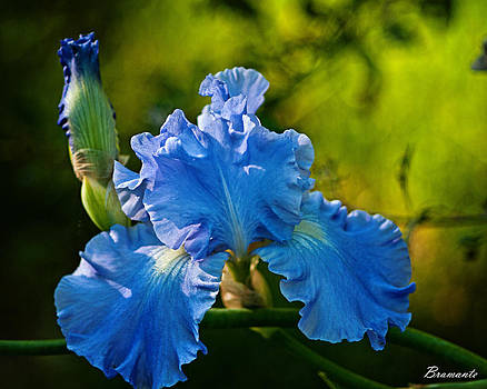 Blue Iris by Richard Bramante