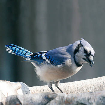 Blue Jay at the Feeder by Kelly S Andrews