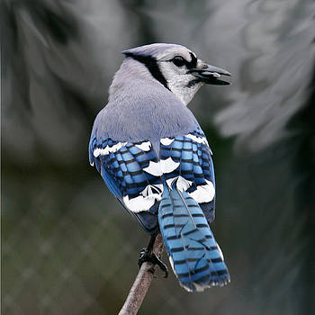Blue Jay Back by Kelly S Andrews