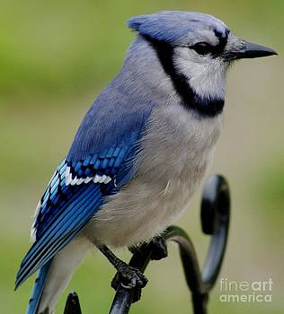 Gail Matthews - Blue Jay Beauty