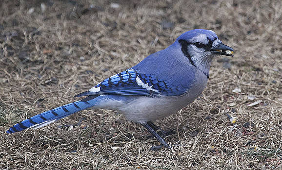Blue Jay by Christina Durity