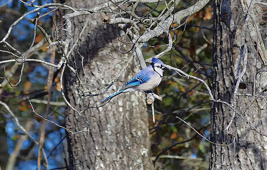 Blue Jay II by Sarah Barber