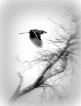 Kathy Peltomaa Lewis - Blue Jay in Black and White