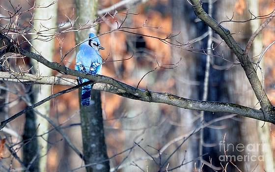 Blue Jay in Kentucky Winter by Maureen Cavanaugh Berry