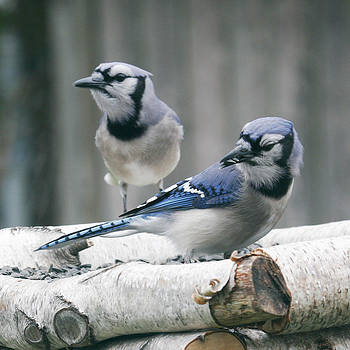 Blue Jay Pair by Kelly S Andrews
