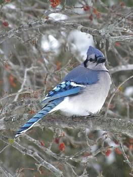 Peggy  McDonald - Blue Jay