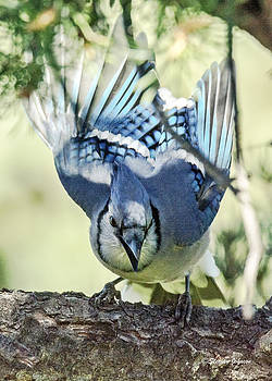 Blue Jay Ready to Launch by Stephen  Johnson
