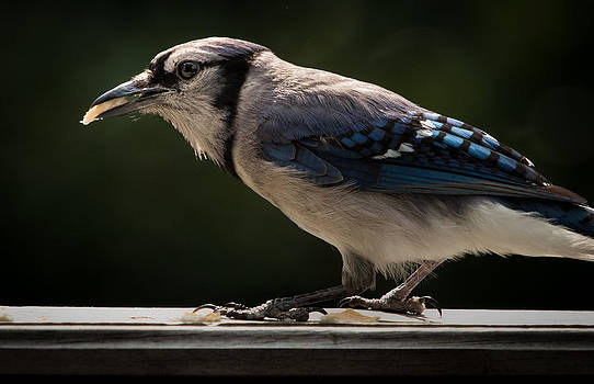 Blue Jay by Ron  Maxie