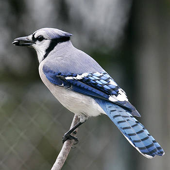 Blue Jay Seeds by Kelly S Andrews