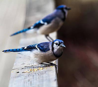Blue Jays by Craig Brown