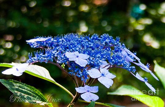 Blue Lace Cap by Jinx Farmer