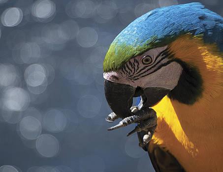 Blue Macaw by Debra Simms