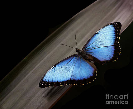 Blue Morpho #2 by Denise Woldring