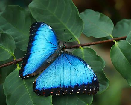 Nikolyn McDonald - Blue Morpho - 2