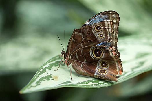 Blue Morpho Butterfly by Gerald Murray Photography