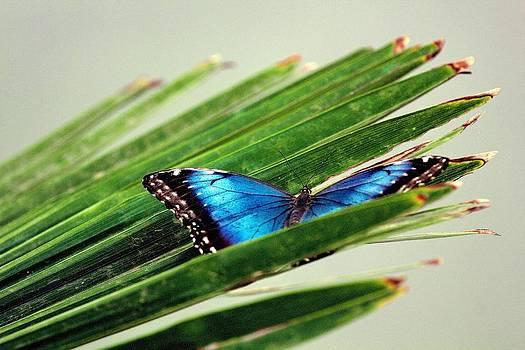 Blue Morpho in Leaves by Joe Urbz