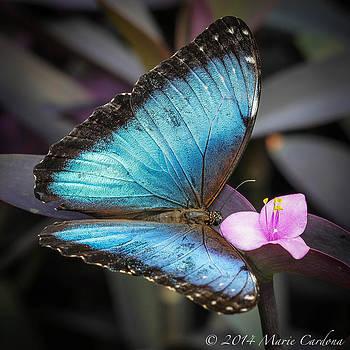 Blue Morpho by Marie  Cardona