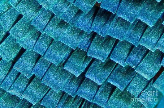 Raul Gonzalez - Blue Morpho Wing Scales