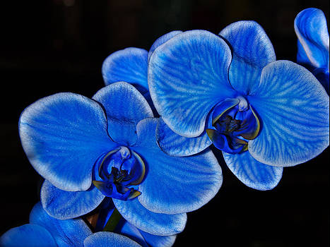 Blue Orchid by Kelly D Photography