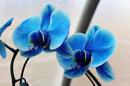 Blue Orchid Multi 2 by Valerie Longo