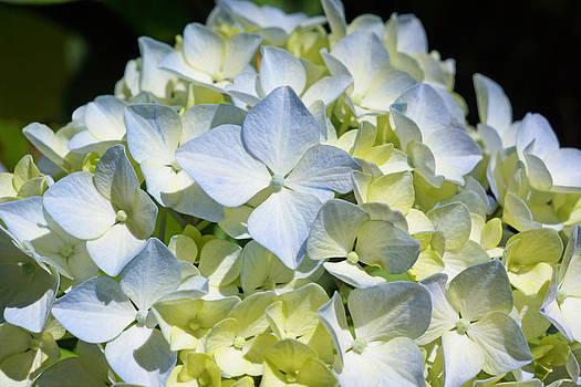 Baslee Troutman - Blue Pastel Floral Art Prints Hydrangea Flowers
