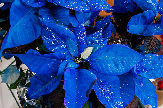 Blue Poinsetta by Wayne Stabnaw