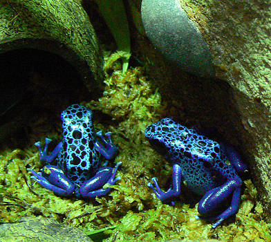 Margaret Saheed - Blue Poison Dart Frogs