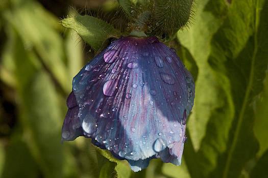 Blue Poppy by Stephanie Haas