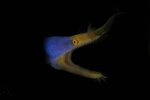 Blue Ribbon Eel by J Gregory Sherman