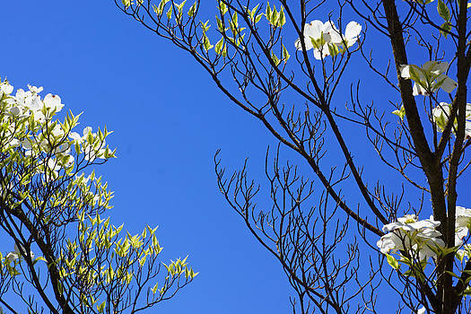 Baslee Troutman - Blue Sky Art Prints Spring Dogwood Flowers Branches