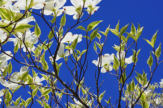 Baslee Troutman - Blue Sky Art Prints White Dogwood Flowers