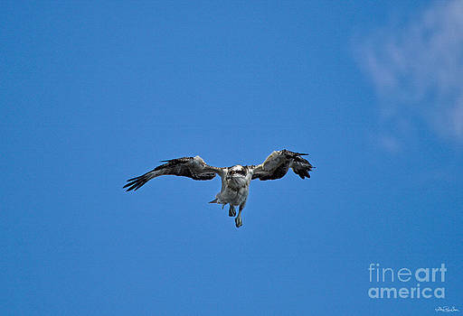 Blue Sky Baby Osprey by Skye Ryan-Evans